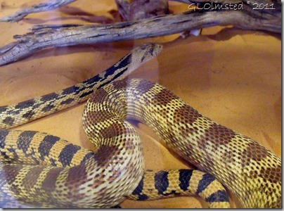 09 Gopher snake in aquarium at VC Coral Pink Sand Dunes SP UT (1024x759)