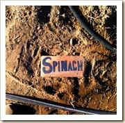 spinach marker