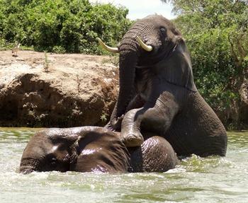 Elephants in Kazinga Channel