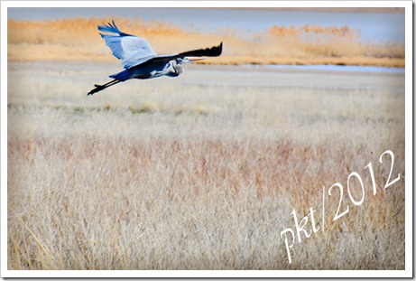 DSC_5429blue-heron-in-flight