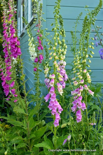 Foxgloves 2