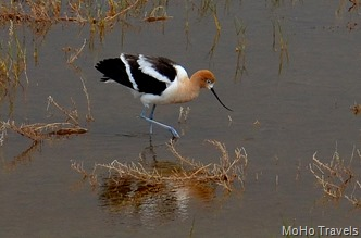 American avocets like brackish shallow water