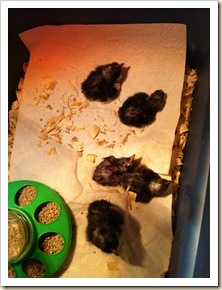 5 baby chicks Tues am