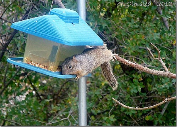 05 Rock squirrel on feeder Yarnell AZ (1024x736)