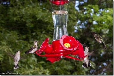 Ruby-throated Hummingbirds, Dunnhill