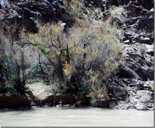 Tamarisk being defoliated along Colorado River Grand Canyon National Park Arizona