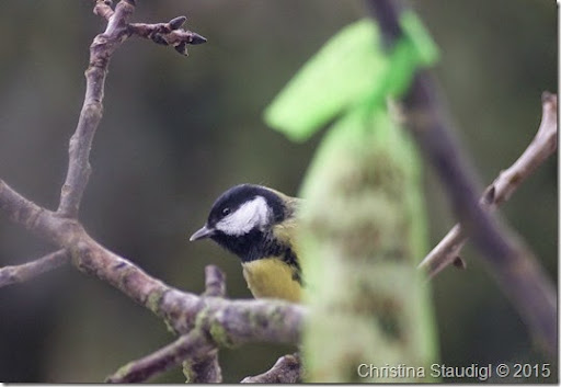Kohlmeise Parus major