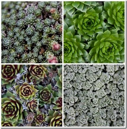 Harlow Carr Garden Succulents