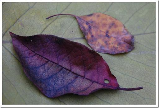 rainbow leaf