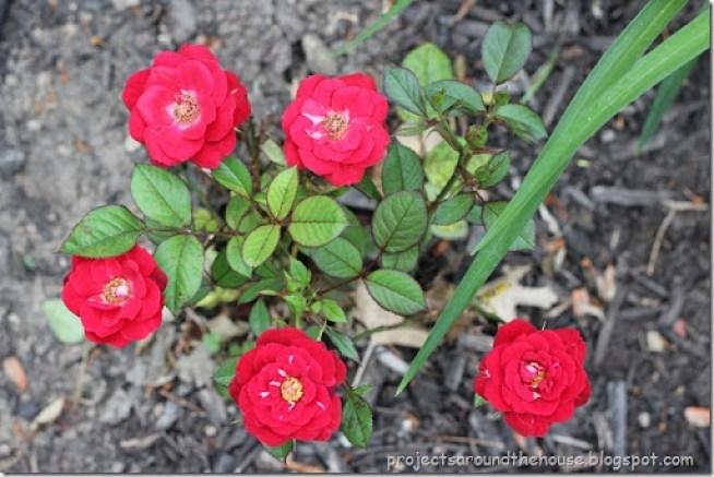 Carnival Rose