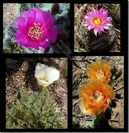 05 Prickly Pear cactus flowers & sego lily collage (996x1024)