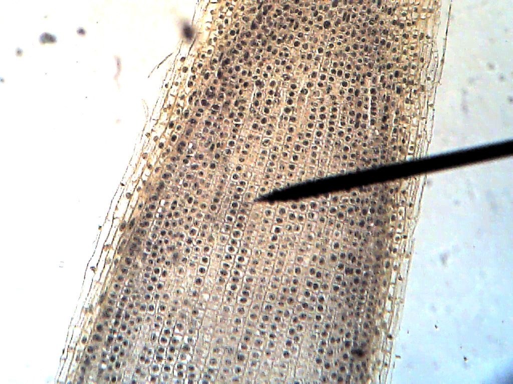 Cell Onion Root