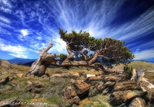 bristlecone-pines-7
