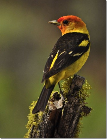 photoshare Western Tanager Silver Lake OR Olbetsy