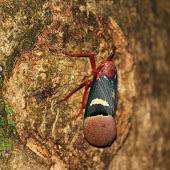 Cicada (2).JPG