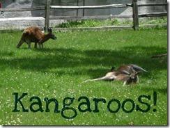 kangaroos