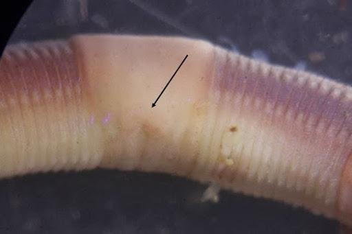 Satchellius mammalis
