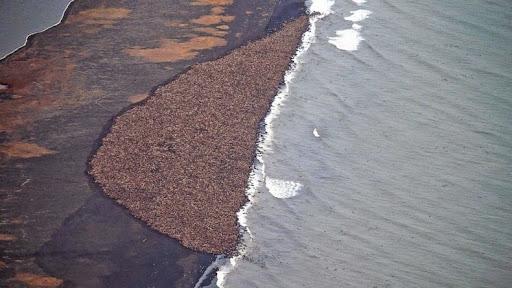 walrus-terra-alaska-2