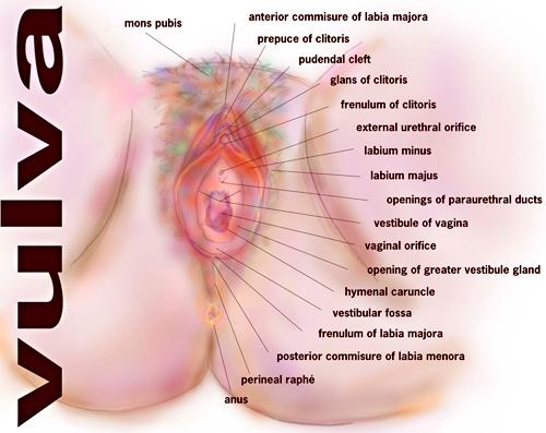 The female vulva