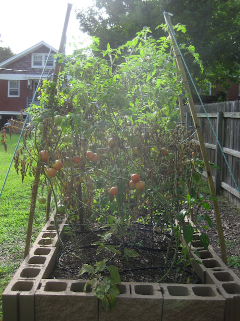 Lots and lots and lots of tomatoes.