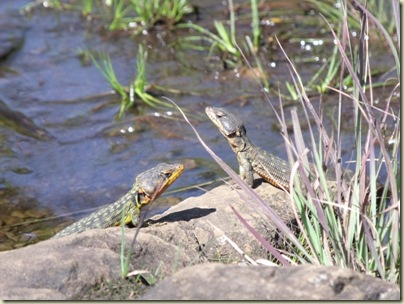 Sun lizards at Breakfast Stream Drakensburg Mts South Africa