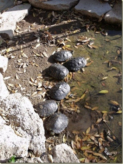 03 Red-eared sliders in pond Yarnell AZ (600x800)