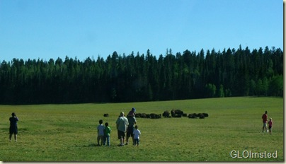 People & bison hybrids in meadow Hwy 67 North Rim Grand Canyon National Park Arizona