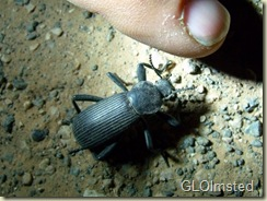 Darkling beetle Tuweep Grand Canyon National Park Arizona