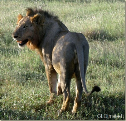 Lion Night ride Kruger National Park Mpumalanga South Africa