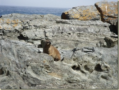 Rock Hyrax Tsitsikamma National Park Stormsriver Mouth Eastern Cape South Africa