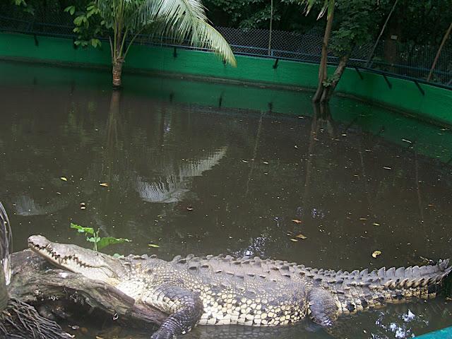 Este cocodrilo se ha escapado varias veces del zoologico
