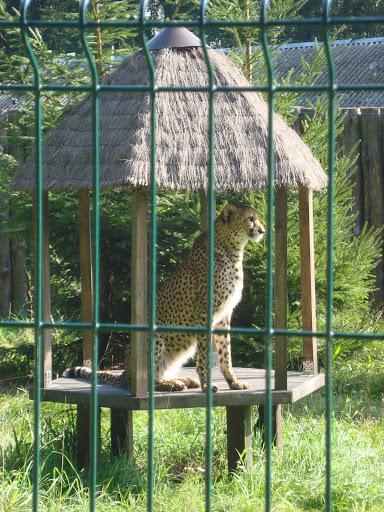 Gepard - Zoo Oliwa