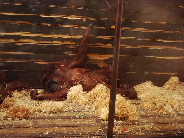 Orangutan Albert w pozie spoczynkowej