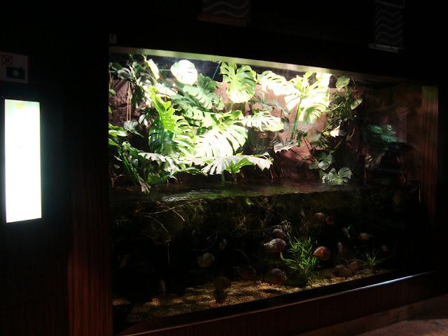 Akwarium z piraniami