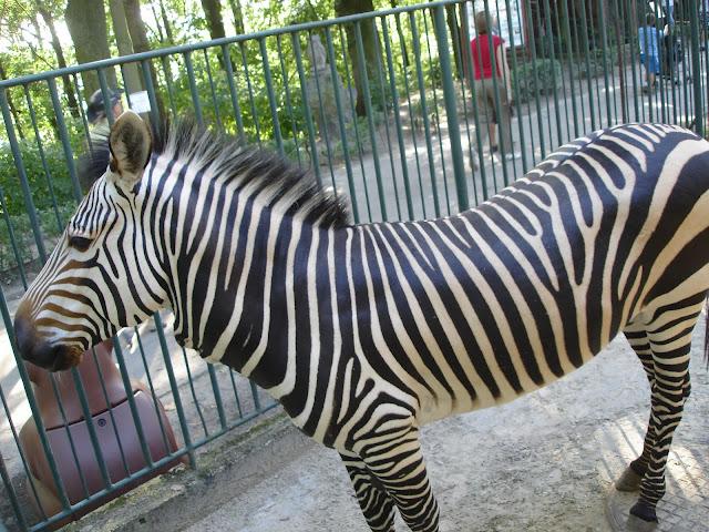 Zebra Hartmanna