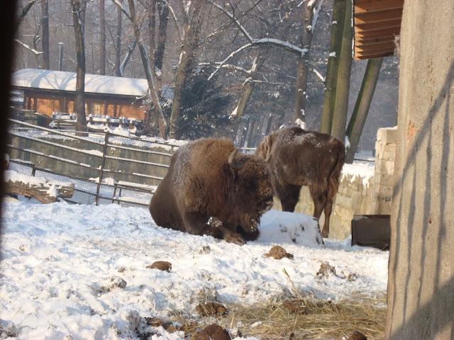Żubry - Zoo Wrocław