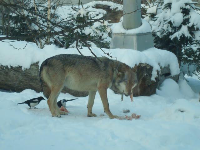 Wilk jest głodny, wilk jest...