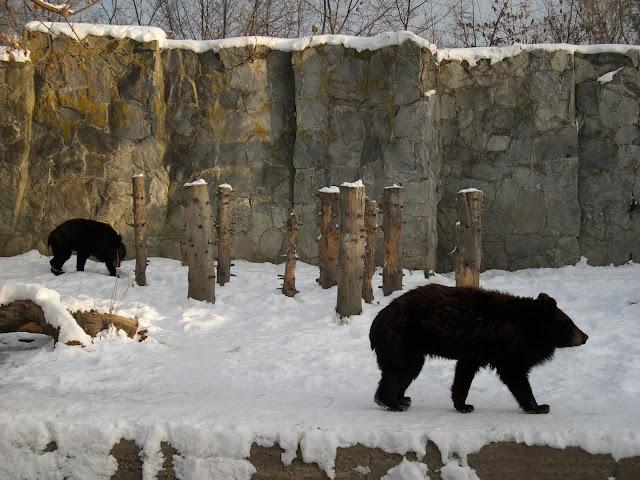 Niedźwiedzie himalajskie na wybiegu