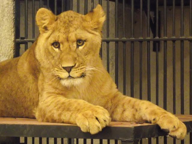 Lew z zamojskiego zoo