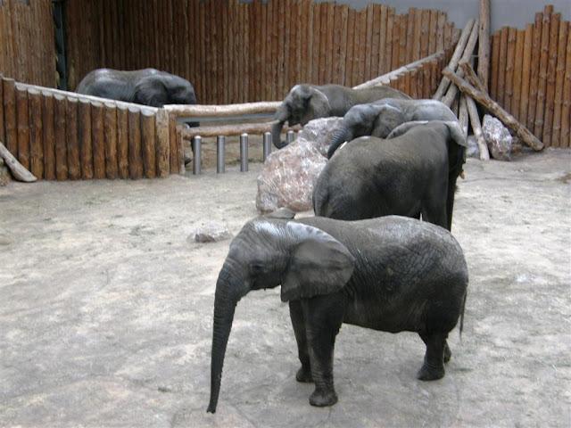 Słoń przy słoniu i dookoła słoń!