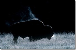 night bison1
