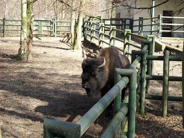 Wybieg bizonów leśnych