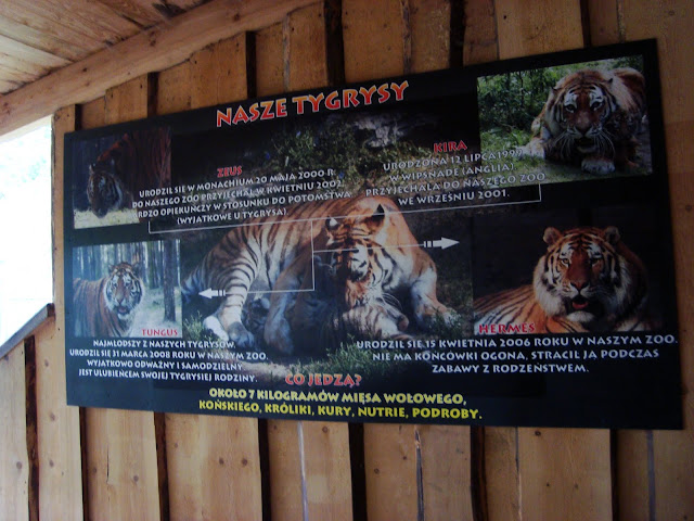 Poznańskie tygrysy syberyjskie