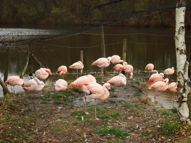 Czerwonaki chiljskie - Nowe Zoo Poznań