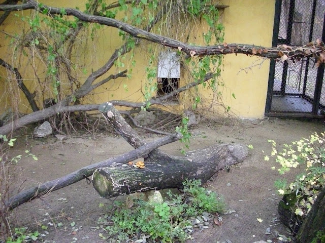 Wybieg łaszy palmowej w poznanskim Nowym Zoo