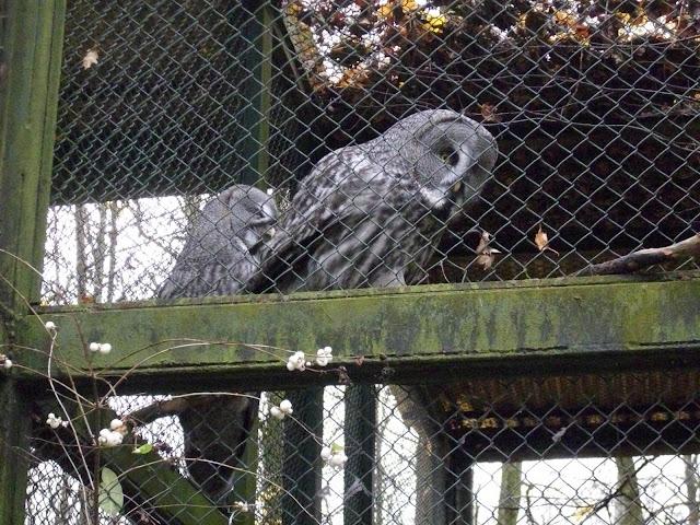 Puszczyki mszarne - Nowe Zoo Poznań