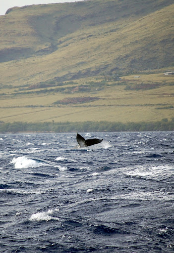 Maui is known for the whale migration - taken from the boat 5 mi. from the harbor.