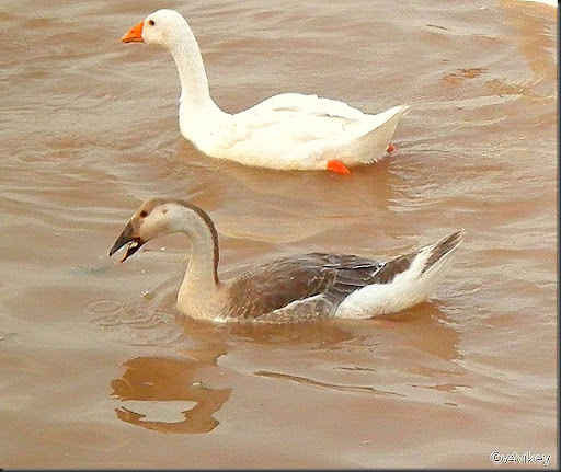 Geese Images
