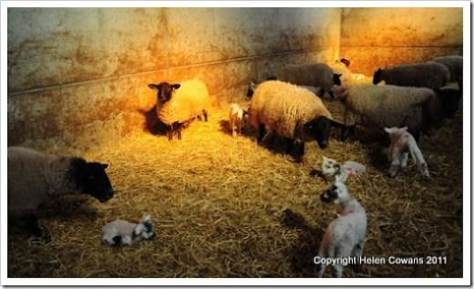 Sheep 347