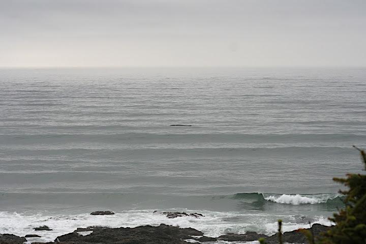 A Grey Whale